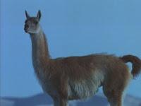 Blog Safari club, Guanaco, el Camello de los Andes online