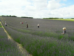 accessible day out sussex, wheelchair access, lavender field.