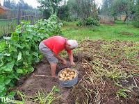 как вырастить картофель, картошка,урожай картофеля,крупный картофель, картофель- фермеру,how to grow potatoes, potatoes,potatoes,large potatoes, potato - farmer,wie wachsen Kartoffeln, Kartoffel,die Ernte von Kartoffeln,große Kartoffeln, Kartoffel - Bauer
