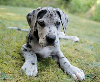 Great Dane Puppy Pictures