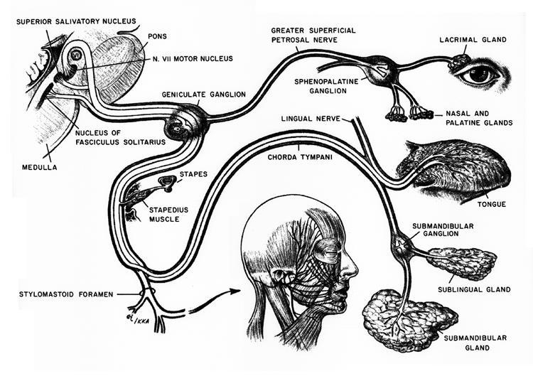 Ent Anatomy Facial Nerve Brads Blog