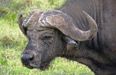 Canvas wall art, prints and cards of Cape Buffalo