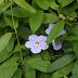 Thunbergia Vine: Beautiful Flower But Deadly Vine