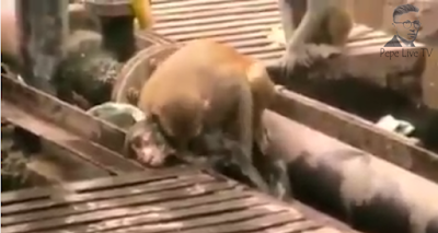 Pepe - Monkey saves a Monkey