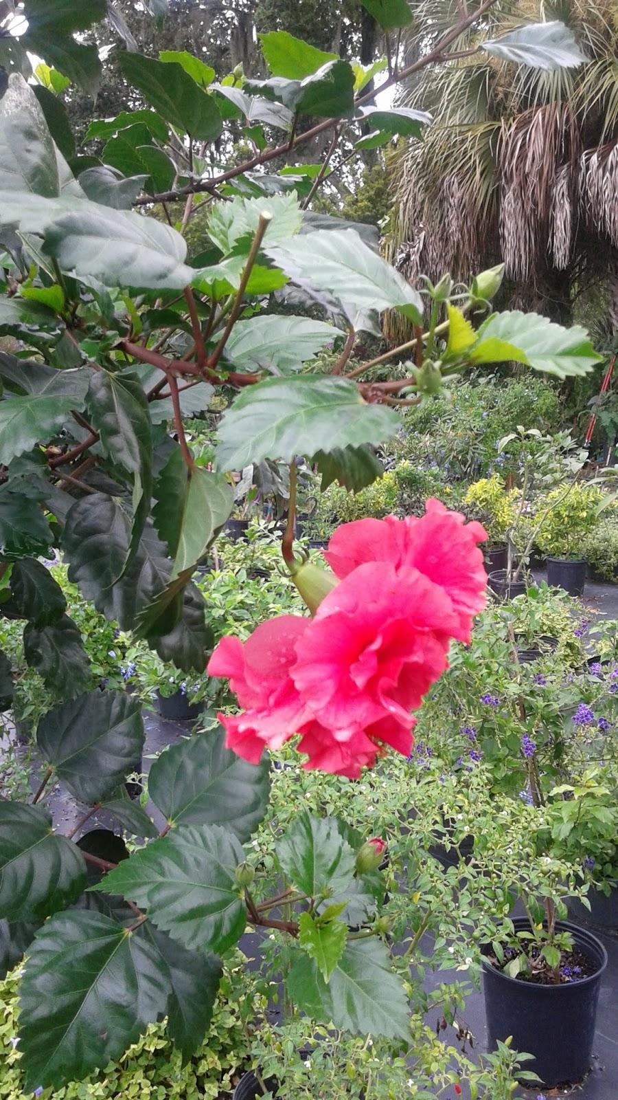 HeyPlantMan! Exotic Tropical Plants from St. Pete FL: Wittia ...