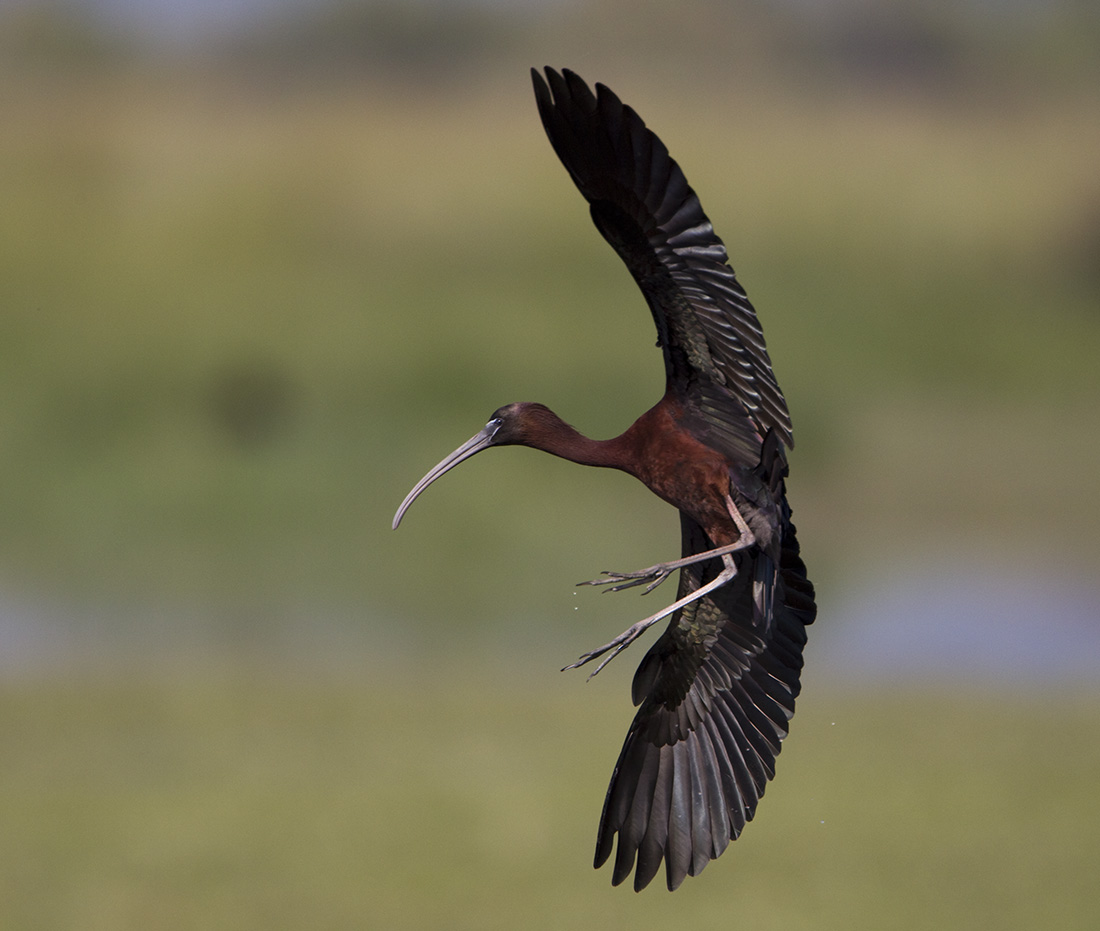 Glossy Ibis | The Life of Animals