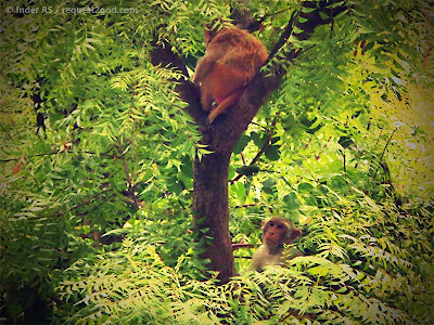 Rhesus Monkeys on a tree