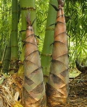 Le Bamboo Shoot in Tây Nguyên (Măng Le ở Tây Nguyên)1