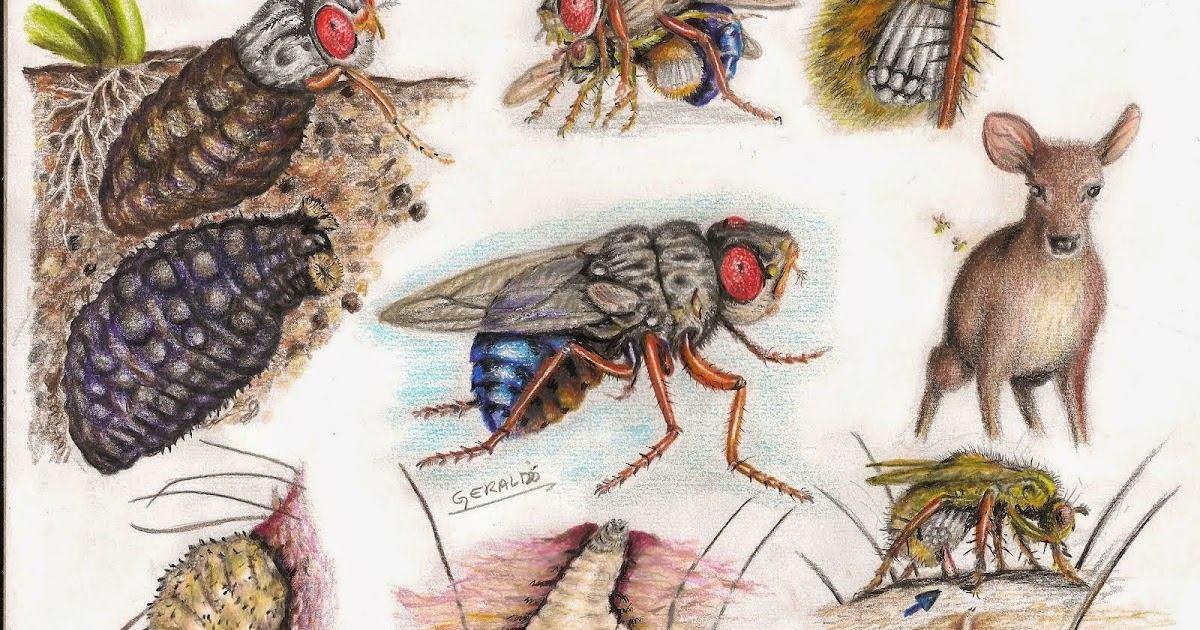 ILLUSTRACIENCIA: Human Bot Fly Life Cycle - Geraldo ...