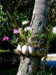 Orquídea plantada na árvore.
