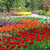 Different Color Tulip Flowers Garden images