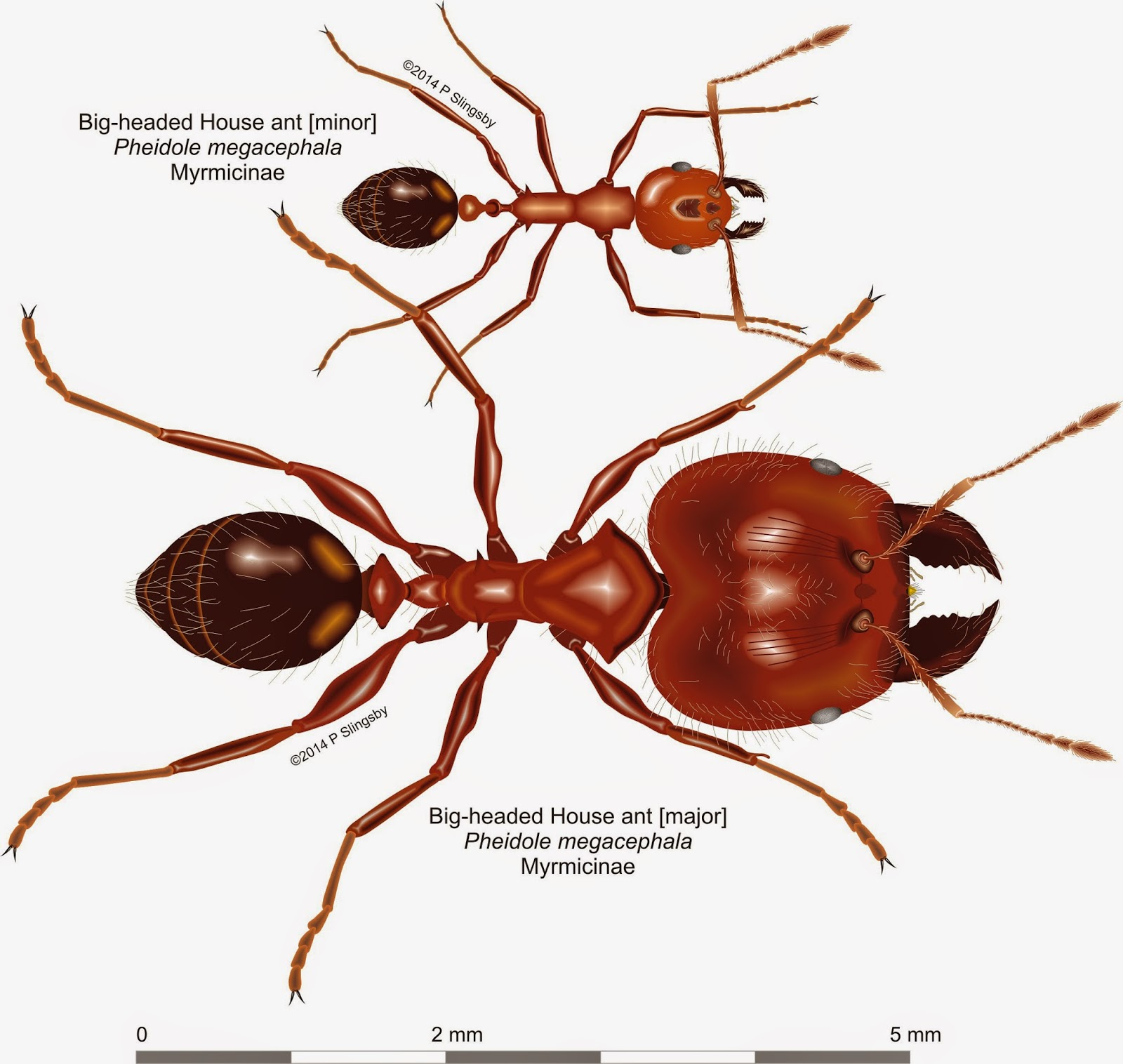 how to kill small red ants