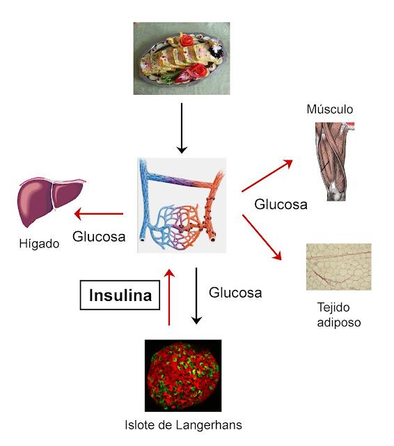 Respuesta de la insulina por el aumento de la glucemia tras una comida