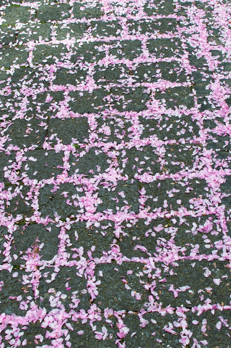 Cherry blossom petals, Bonn, Germany