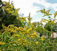 the goldenrod season