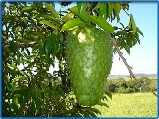 Other Benefits Of Soursop Fruit For Health We Should Know