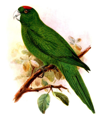 papagayo de Guadalupe Aratinga Psittacara labati