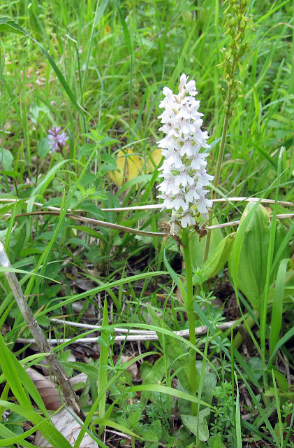 Common spotted orchid, Dactylorhiza fuchsii; a white-flowered example. Behind it to the right, a common twayblade, Neottia ovata. High Elms Country Park, 9 June 2011.  Orchid walk led by Terry Jones of Bromley Countryside Services.