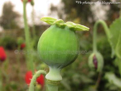Opium Poppy Pod
