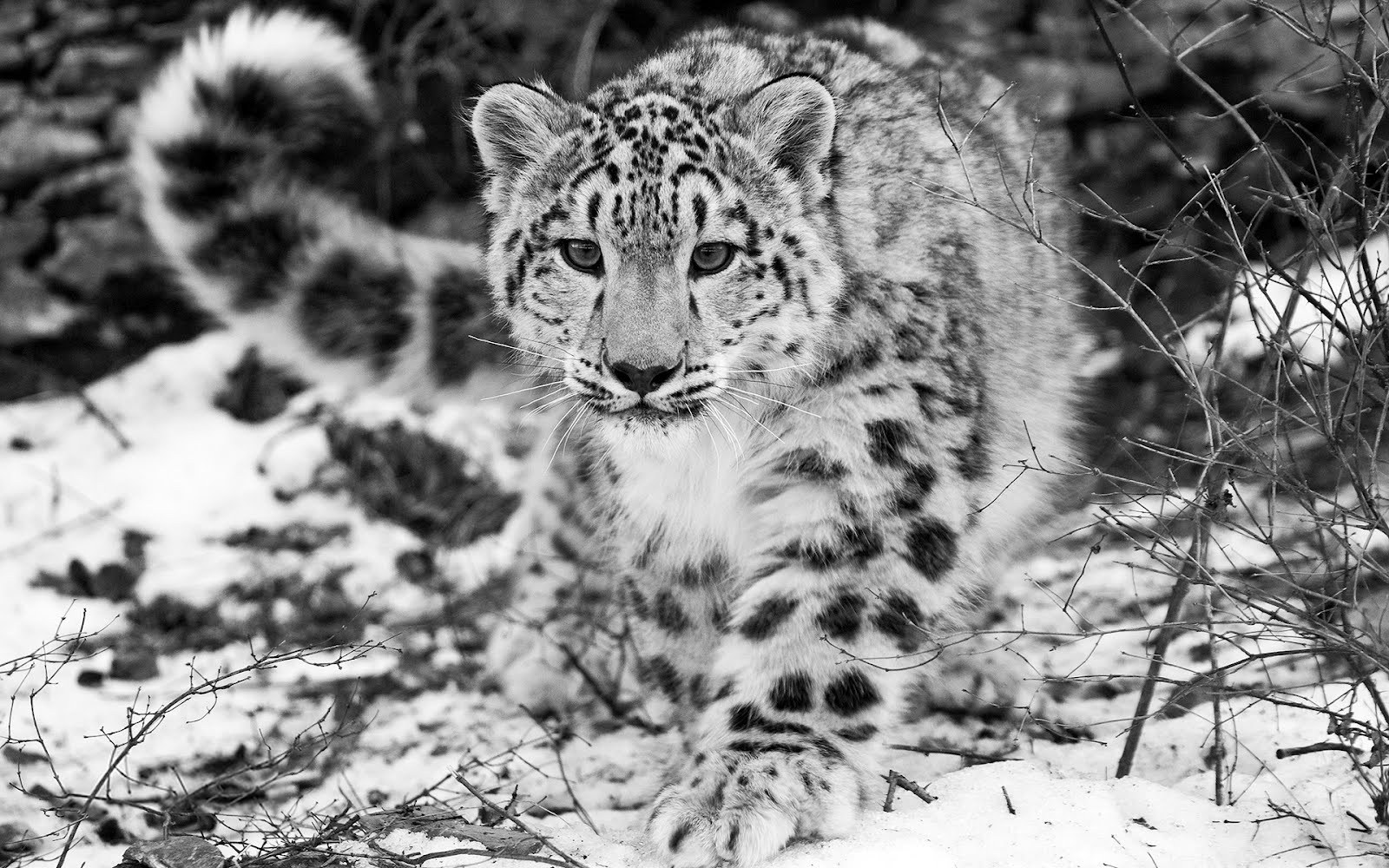 animal-tiger-snow