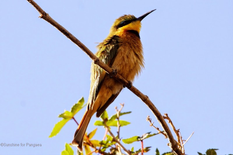 blue breasted bee eater