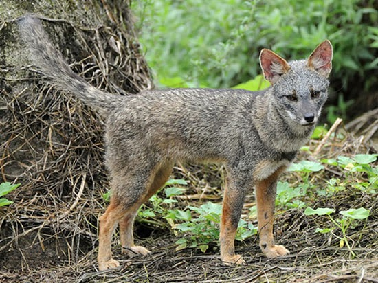 darwins fox animals amazing facts amp latest pictures