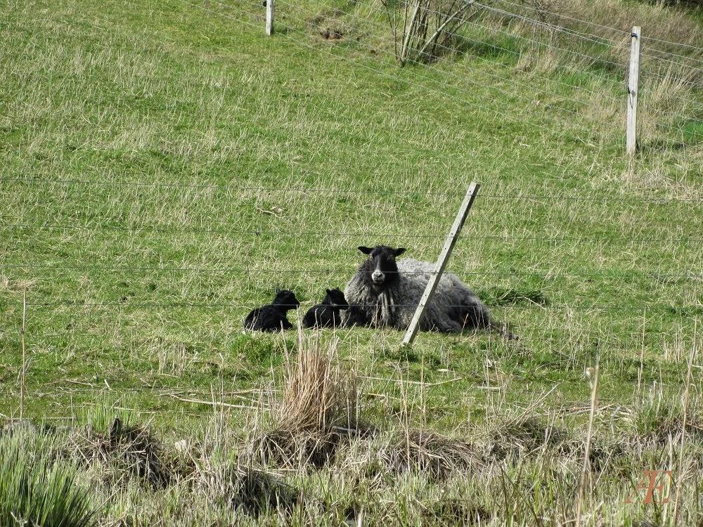 Forår, får med to sorte lam