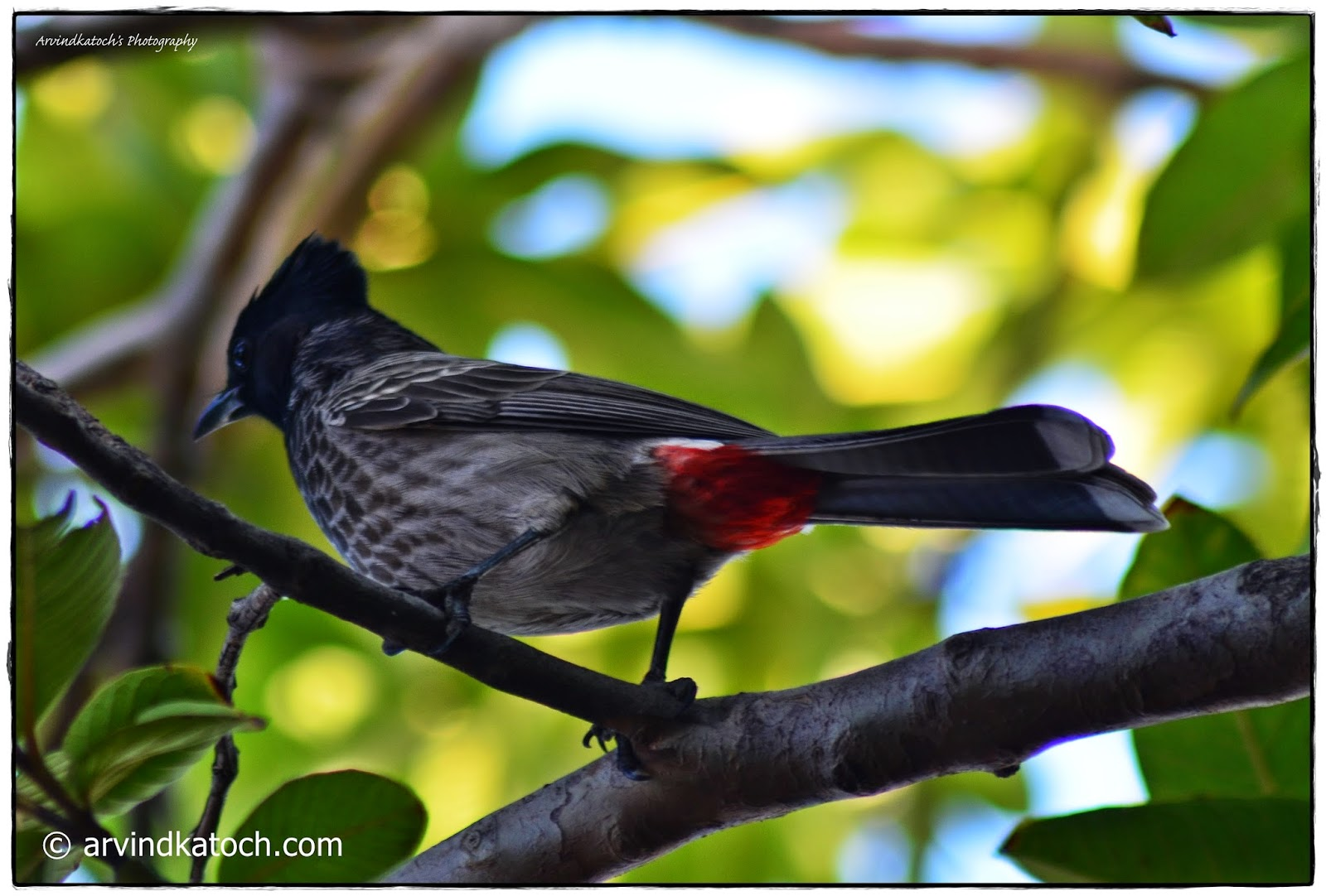 Bulbul, Red-vented Bulbul, Pycnonotus cafer, Birds,