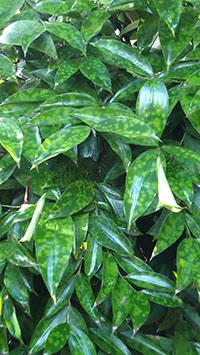 Gold Dust Dracaena Dracaena surculosa houseplant