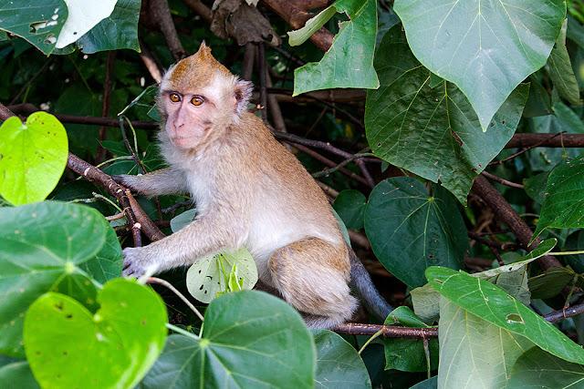 scimmia mauritius monkey maurizius