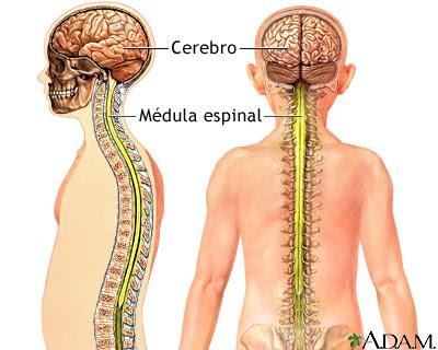 Tronco del encefalo definicion