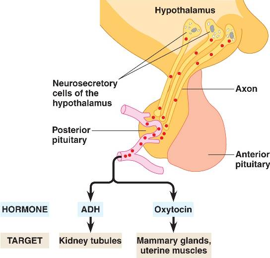 anatomy oxytocin In response to tactile teat stimulation, either manually or by the milking machine,  milk ejection is induced by the release of oxytocin, release from the pituitary.