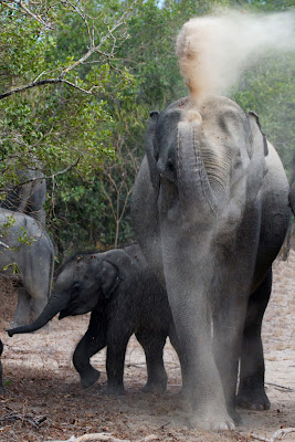 An Elephant has a dust bath