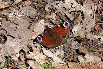 fjäril med utfällda vingar. foto: Reb Dutius