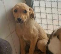 setter cane adozione cucciolo canile