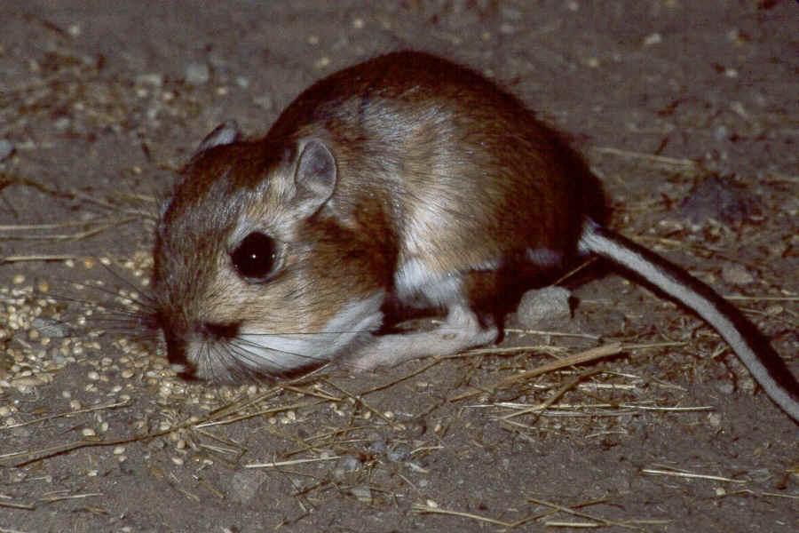 Kangaroo rats endangered |Funny Animal