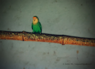 lonely love bird