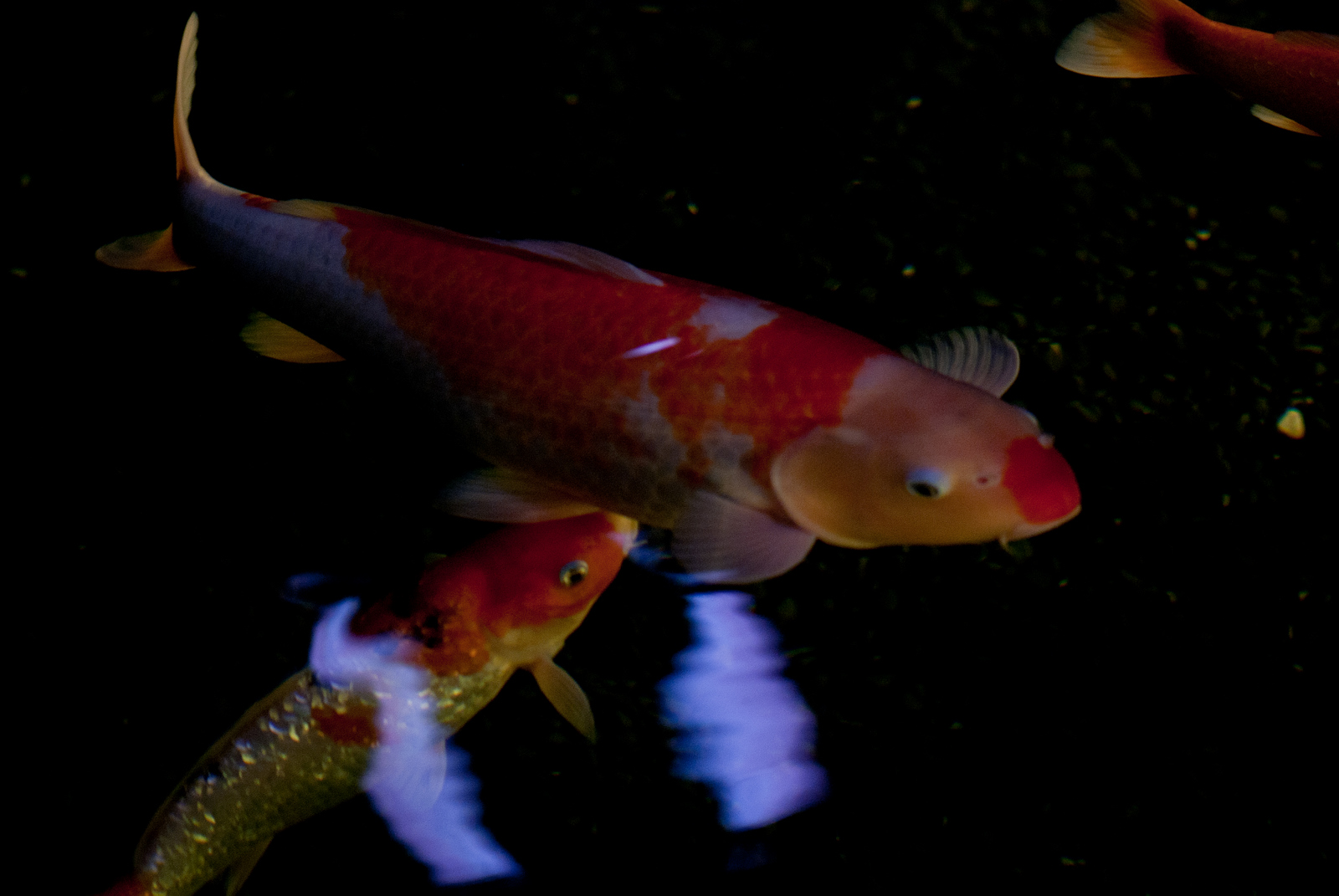 Black wallpaper koi fish picture wallpapers for Koi fish pictures
