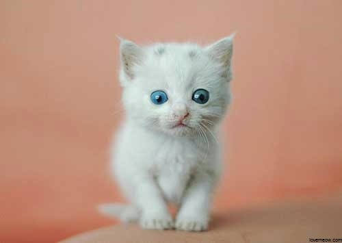 Photos petit chat blanc mignon