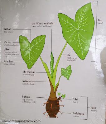 Taro or kalo anatomy poster, parts of the plants with Hawaiian names