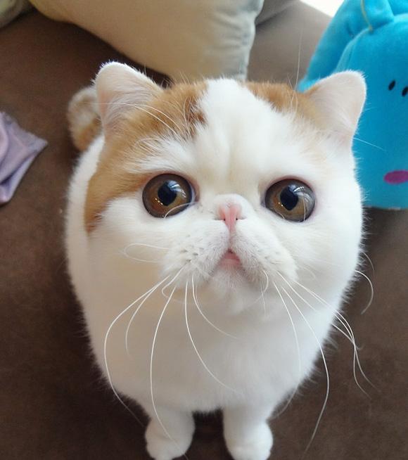 Kucing Exotic Shorthair Paradisaeksakta