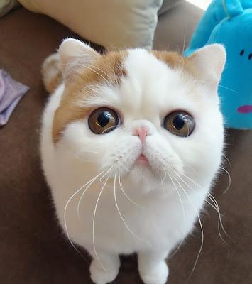 Foto-foto kucing paling imut bernama Snoopy 07