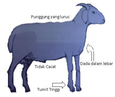 Hasil gambar untuk memilih domba jantan