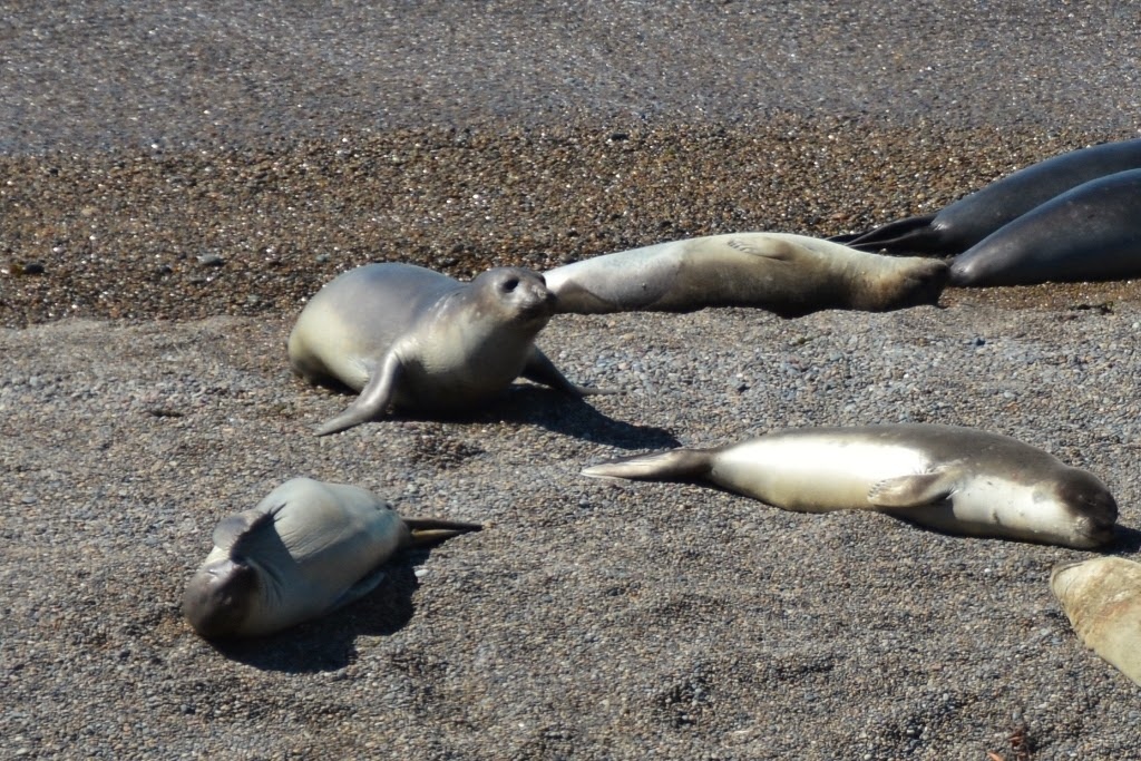 Peninsula Valdes seals