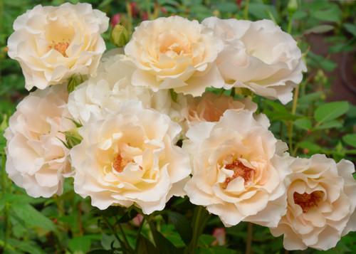 Rokoko rose сорт розы фото
