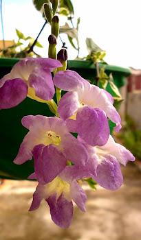 Flor da planta Orelha de Gato