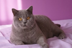 gato británico de pelo corto azul