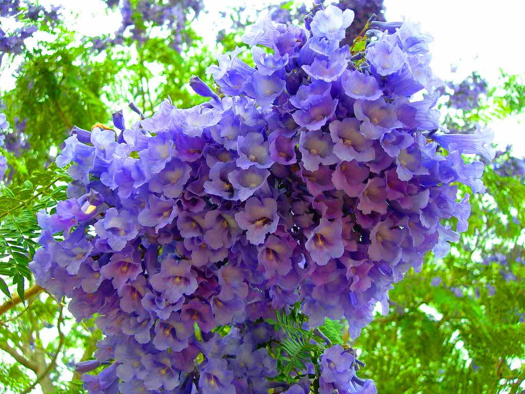 Happiness all around us flowering trees in india has had problems with the blue jacaranda preventing growth of native species lusaka the capital of zambia also sees the growth of many jacarandas izmirmasajfo