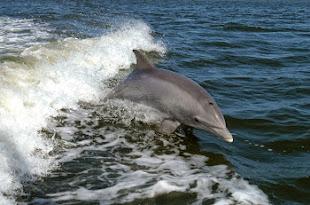 ANIMAL WISDOM: Dolphin