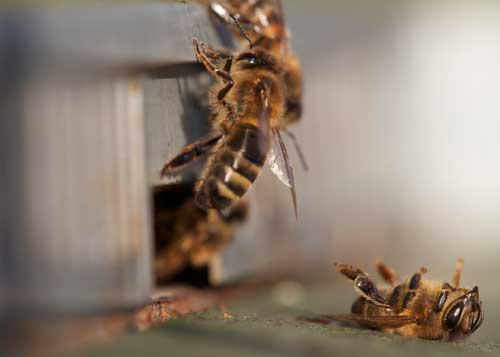 Η Παραπλάνηση των μελισσών